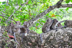 Family of wild monkeys Royalty Free Stock Photography