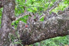 Family of wild monkeys resting. On a tree royalty free stock photos