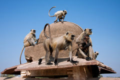 Family of wild monkeys sitting on a stone fence Royalty Free Stock Images