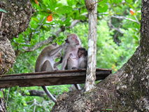 Family of wild monkeys on a tree Royalty Free Stock Image