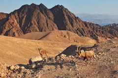 Family wild mountain goats in desert Royalty Free Stock Photos
