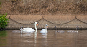 Family of wild mute swans. Are floating in the river in the city Royalty Free Stock Photo
