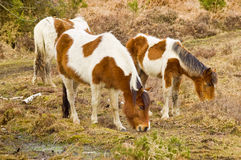 A Family of wild new forest ponies. An image of a family of three wild famous new forest ponies grazing near a swamp in bracken stock image