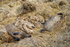 Family of wild pigs with babies. Stock Photos