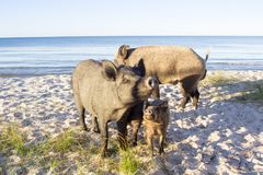 Family of wild pigs poses on sea beach sands. Wild pigs family walk on sea beach sands Stock Photography