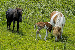 Family of wild Shetland Ponies eating grass. Male, female, and baby ponies of Grayson Highlands Royalty Free Stock Photography