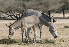 Family of wild Somali donkey in Israeli nature reserve. Somali wild donkey (Equus africanus) is the forefather of all domestic asses. This species is extremely royalty free stock images