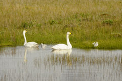 Family of wild swans Royalty Free Stock Photo
