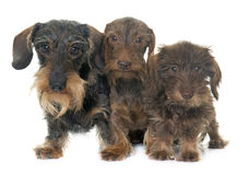 Family Wire haired dachshund Stock Photos