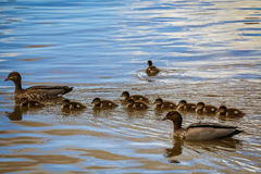 Family of wood ducks. Two parent wood ducks escort their ducklings - but there`s always one that wants to go it alone Stock Photography