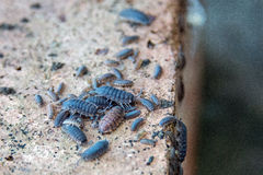 Family of woodlice on a brick Royalty Free Stock Images