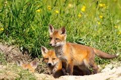 Family of young fox cubs near the den Stock Photos