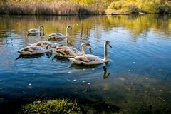 Family of young mute swans stock photo