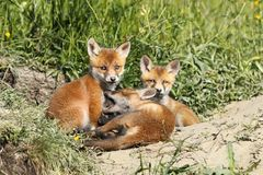 Family of young red foxes Stock Photo