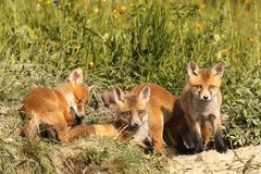 Family of young red foxes Royalty Free Stock Photo