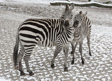 The family of a Zebra Stock Photography