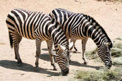 Family, a Zebra mother and her children Stock Photos