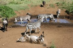 Zebra rolling in the dust Royalty Free Stock Photo