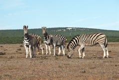Family of Zebras Stock Photo