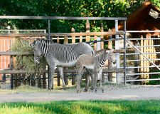 Family of zebras Stock Images