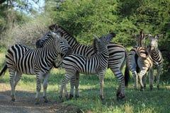 Family of Zebras Stock Photography