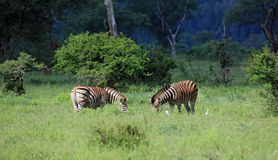 Family of Zebras Royalty Free Stock Photography