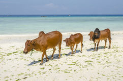 Family of Zebu cattle Royalty Free Stock Photos