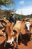 Famine. Chemer Lokot is moving his livestock to other parts of the Pokot region in Kenya. The famine is making its toll on both people and livestock Royalty Free Stock Images