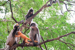 A Faminy of Langur Stock Image