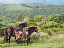 Famiy group of wild Exmoor ponies, with foal. Stock Photo