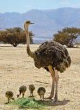 Família da avestruz africana (camelus do Struthio) Imagens de Stock Royalty Free