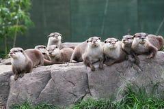 Família da lontra Fotografia de Stock Royalty Free