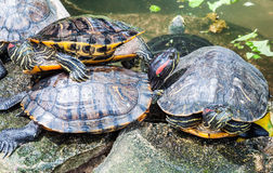 Família da tartaruga Fotografia de Stock Royalty Free