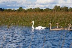 Família das cisnes Fotografia de Stock Royalty Free