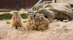 Família de Meerkat - a impar para fora Fotografia de Stock Royalty Free
