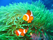 Família de peixes tropical do palhaço Fotografia de Stock Royalty Free