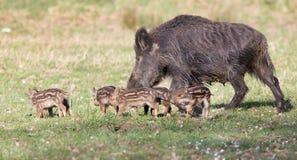Família do varrão selvagem Imagem de Stock Royalty Free