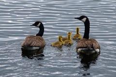 Família dos gansos de Canadá Imagem de Stock