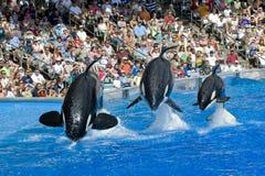 Família e bebê da baleia de assassino de Shamu Foto de Stock
