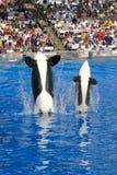 Família e bebê da baleia de assassino de Shamu Fotografia de Stock Royalty Free