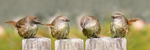 Fammily van Scrub winterkoninkjes het zingen Royalty-vrije Stock Foto's