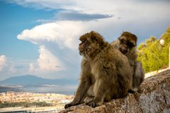 The famous apes of Gibraltar. Located in the upper Rock nature reserve . Gibraltar is a British Overseas Territory located on the southern tip of Spain stock photo