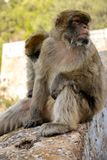 The famous apes of Gibraltar. Located in the upper Rock nature reserve . Gibraltar is a British Overseas Territory located on the southern tip of Spain stock photos