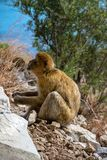 The famous apes of Gibraltar. Located in the upper Rock nature reserve . Gibraltar is a British Overseas Territory located on the southern tip of Spain royalty free stock photo