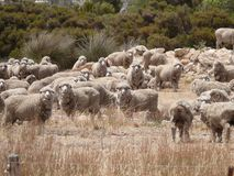 Famous australian sheep. Famous australian sheep with the most rich wool in world. South Australia near Ceduna Stock Images