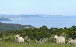 Famous australian sheep. Famous australian sheep on background of the ocean. Australia, Victoria. Great Ocean Road Stock Photo