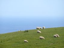 Famous australian sheep. Famous australian sheep on background of the ocean. Australia, Victoria. Great Ocean Road Royalty Free Stock Photo