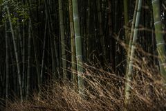 Famous bamboo forest at Arashiyama , Kyoto. Famous travel location in Kyoto. Silent Bamboo forest is the zen bamboo garden at Arashiyama region Stock Photo
