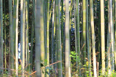 Famous bamboo grove at Arashiyama, Kyoto - Japan. The Famous bamboo grove at Arashiyama, Kyoto - Japan Royalty Free Stock Photography