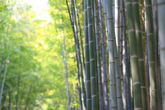 Famous bamboo grove at Arashiyama, Kyoto - Japan. The Famous bamboo grove at Arashiyama, Kyoto - Japan Royalty Free Stock Photos